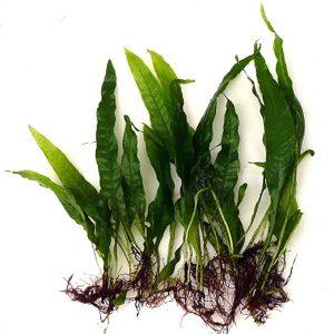 pianta per acquario