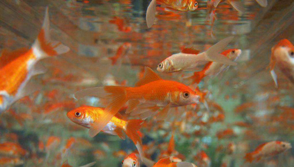 mangime per pesci rossi e altri generi il cibo ideale per On pesci rossi quanto vivono