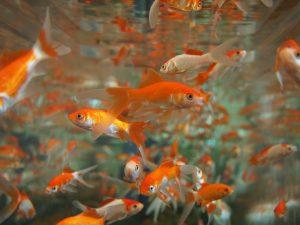 Mangime per pesci rossi e altri generi: il cibo ideale per i tuoi amici con le pinne